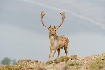 fallow deer with big horns