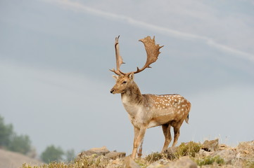 male fallow deer with big horns