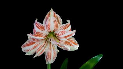 Exotic Amaryllis Blooming Timelapse