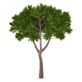 Tree pine isolated.