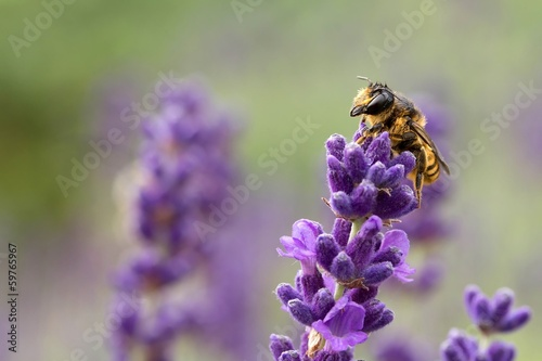 Spoed canvasdoek 2cm dik Bee wildbiene auf lavendel / Wild bee on Lavender