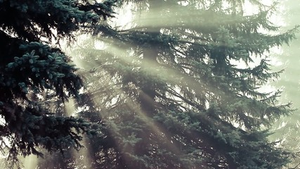 Beautiful sunbeams in pine forest, Poland.
