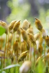 Haircap moss polytrichum