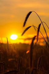 Rye field on sunrise