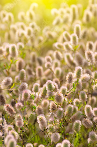 Background with wild flowers. Trifolium arvense.