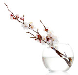 beautiful apricot blossom  in transparent vase isolated
