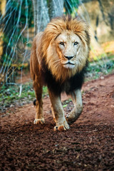 Portrait of male lion walking