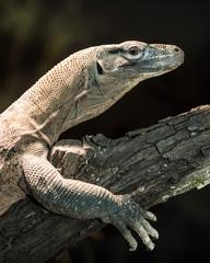 Juvenile komodo dragon perched on tree branch