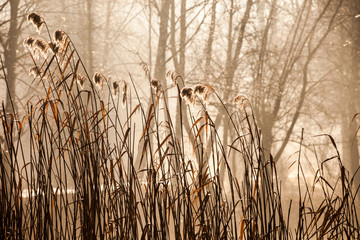 Cane and Morning Sunlight , Poland.