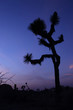Beautiful Joshua Tree Silhouette at Dusk