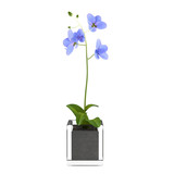 Orchid blue flower in the pot at the white background