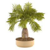 Decorative palm plant in the pot at the white background