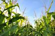 feuillage du maïs - 59781926
