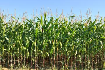 champ de maïs de face