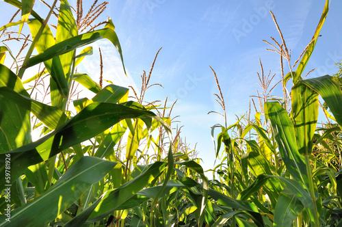 Canvas Cultuur feuillage du maïs