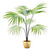 Palm plant in the pot at the white background