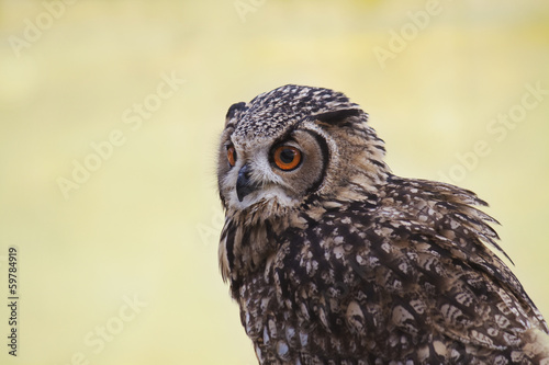 Owl portrait in nature