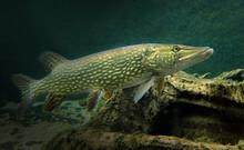 Podwodne zdjęcie szczupaka (Esox Lucius).