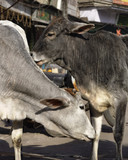 India, Delhi, sacred cows in a local market