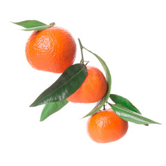 branch with tangerines on a white background
