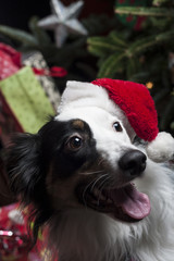 a cute Australian Shepherd in front of a christmas tree with a s