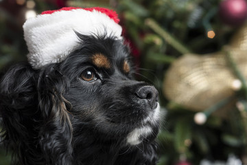 a cute Cocker Spaniel in front of a christmas tree with a santa