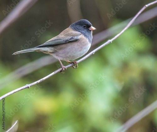 Dark eyed junco bird