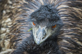 Emu Bird close-up