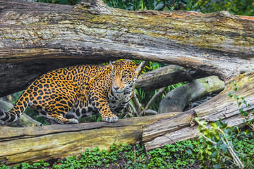 Young Jaguar Cat