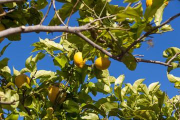 frische gelbe zitronen an einem baum vor blauem himmel