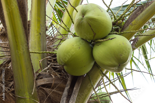 Bunch of coconuts on tree © adisorn365