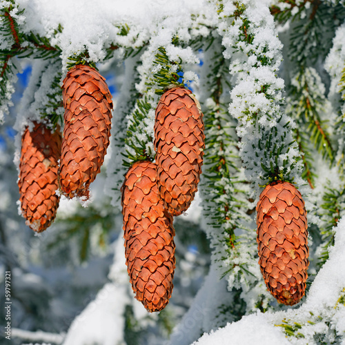 Branches ate with cones under snow