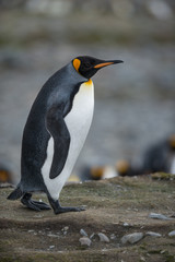 Walking King Penguin - South Georgia, Antarctica