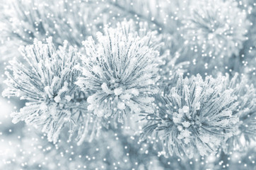 Winter background with frozen coniferous branch
