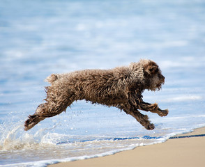Perro de Aqua – spanischer Wasserhund