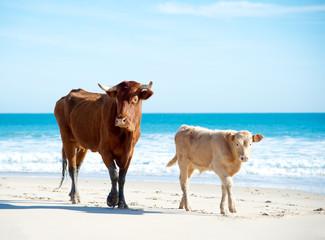 Rinder am Strand