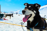 Husky dog in Musher camp, Mendenhall glacier Juneau Alaska
