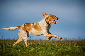 Jagdhundmischling rennt über die Wiese