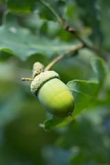 Eichel am Baum / acorn on a tree