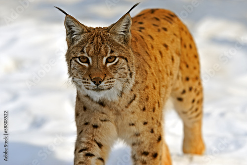 Lynx in their