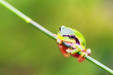 San Antonio Frog (Hyla arborea). European Tree Frog.