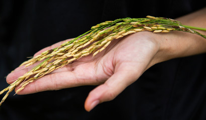Hand holding unmilled rice