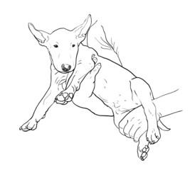 Young bull terrier