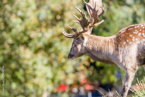 Closeup of a Fallow Deer buck (dama dama) in summer pelage