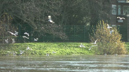 Gulls diving and feeding on River Thames, London