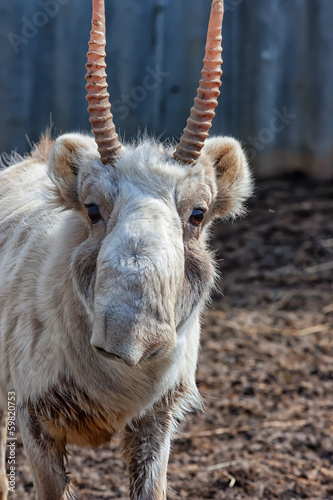 Close-up Male Saiga