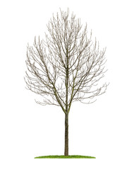 freigestellter Laubbaum im Winter