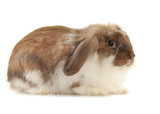 Rabbit Angora isolated on white background