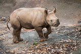 Young black rhino calf portrait