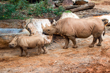 Black rhino mother and her calf